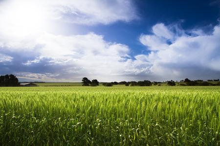 cosecha de trigo: Cosecha de trigo verde con el cielo azul brillante Foto de archivo