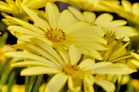 Macro Yellow Daisies