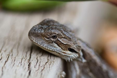 bearded dragon: Australian Bearded Dragon - Pogona Barbata