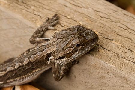 Australian Bearded Dragon - Pogona Barbata