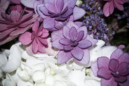 Close Up Image of Hydrangea flowers
