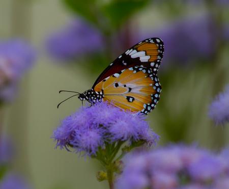 Monarch Butterfly (Danaus plexippus) on Flowers Stock Photo