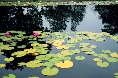 Pink water lillies (Nymphaea pubescens) in a pond- selective focus Standard-Bild