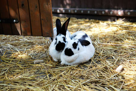 A couple of domestic rabbits (latin Oryctolagus cuniculus) hugging on straw