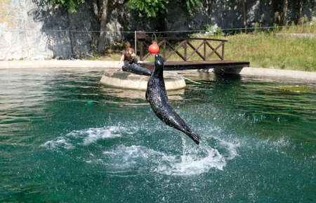 phoca vitulina 'harbor seal' jumping out of water to hit a ball at a zoo