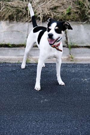 Vertical portrait of a cute happy black and white dog on a walk on the sidewalk Standard-Bild