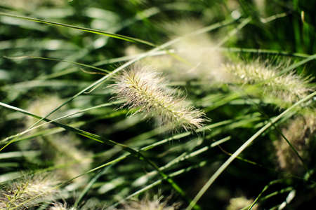 Green background of ears of grass shot as a close-up with selective focus Standard-Bild