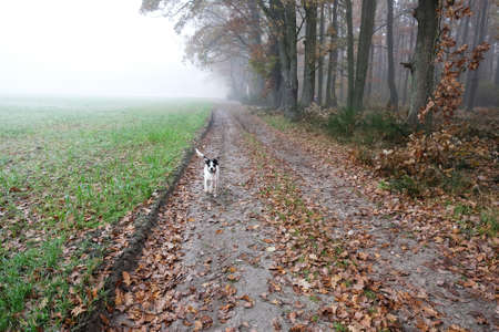 Dog on a walk on a foggy morning in autumn in countryside in Poland