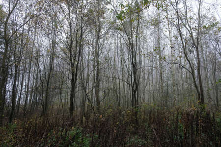 Foggy forest with bare trees landscape. Natural background