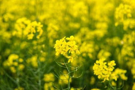 yellow rapeseed growing in the field for biofuel Standard-Bild