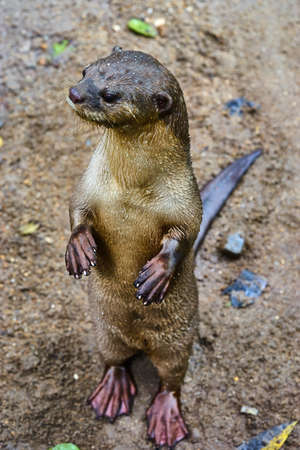 small clawed: Oriental Small-Clawed Otter top view