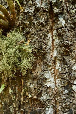 tillandsia: Bark texture with detail close up of Tillandsia Usneoides and Moss