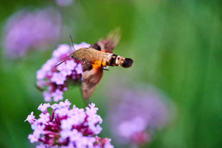 Humming moth on a Red Valerian flowers Stock Photo