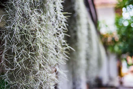 tillandsia: Spanish moss in the jungle tillandsia Stock Photo