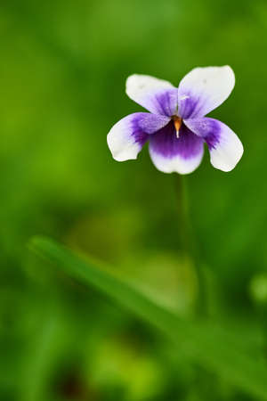 Viola odorata blooming in spring close-up. Nature background.
