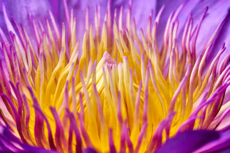 lotus bloom. close up Macro pollen of purple lotus Stock Photo