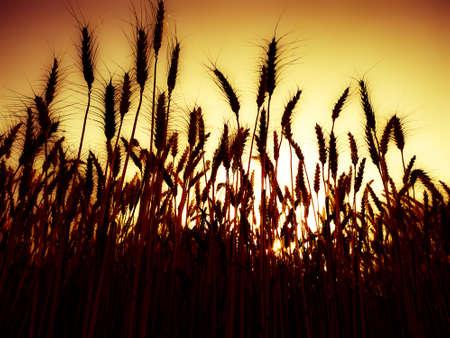 Low angel view of wheat growing on field against sky Фото со стока