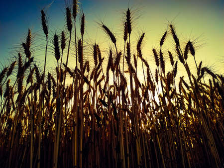Close up of wheat field against sky