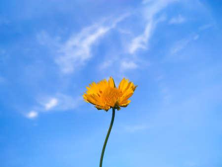 Beautiful yellow Desert sunflower on the blue sky background Imagens