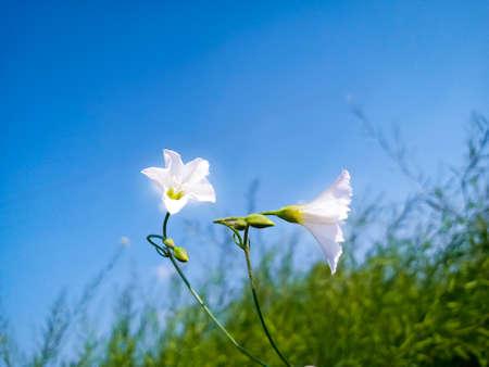 Convolvulus arvensis. Wild bindweed-Calystegia sepium. Flower bindweed plant. Flowering herb. White