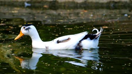 white duck: White Duck in Lake