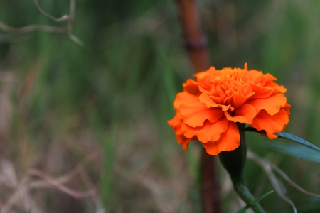 mesmerized: Close-Up Of Marigold Blooming in Yard Stock Photo