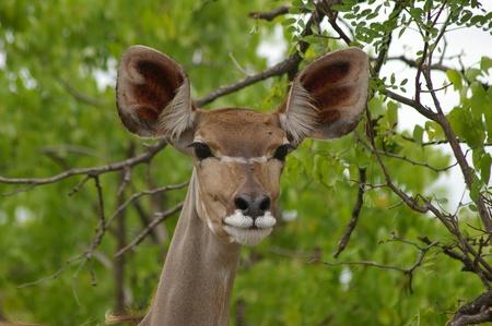 Female kudu antelope photo