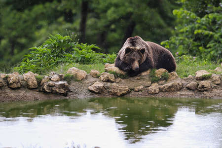 Brown bear sitting near a lake in the rain photo