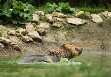 Wet brown bear taking a bath photo