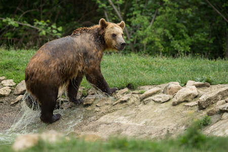 wet bear: Brown bear after taking a bath