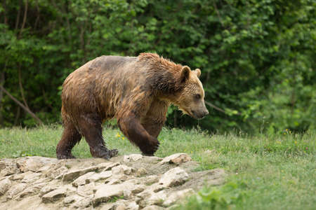 wet bear: Wet brown bear walking after taking a bath