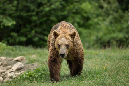 Brown bear walking photo