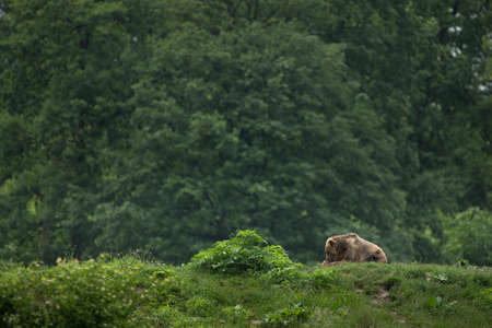 Brown bear sitting in the forest  banner  photo