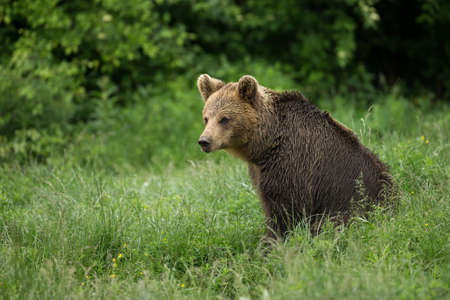 wet bear: Brown bear sitting
