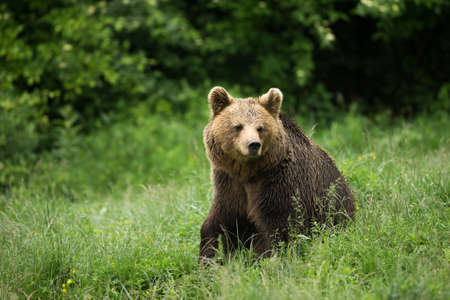 Brown bear sitting photo