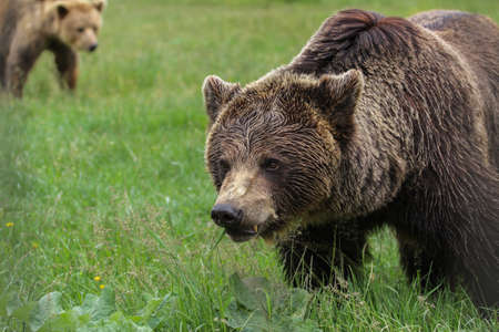 Brown bears in the woods photo