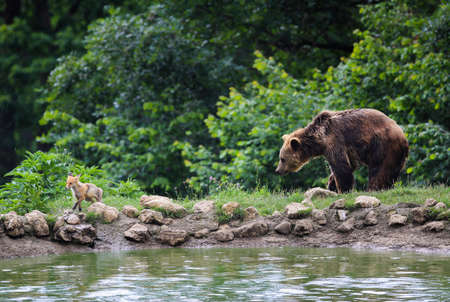 wet bear: Brown bear and fox walking in the forest Stock Photo