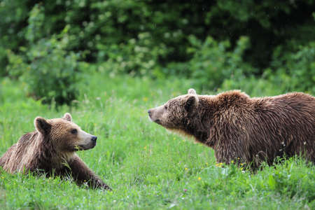 wet bear: Two brown bears playing in the forest