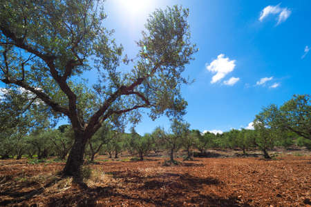 red soil: Olive tree plantation. European Olive Oil tree in Zakynthos island with red soil and clear blue sky