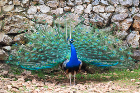 Peacock showing tail in wilderness Stock Photo