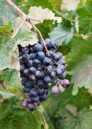 Bunche of red wine grapes hang from a vine, warm background color. Grape harvest season. Stock Photo