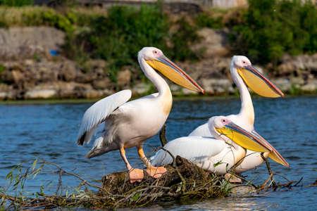 Pelican in Delta Dunarii, Romania Stock Photo