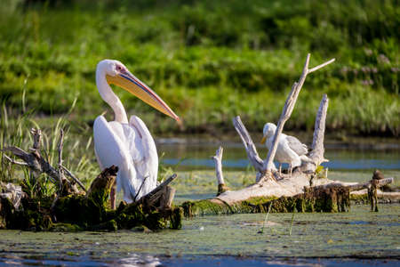 Pelican in Danube Delta, Romania Reklamní fotografie