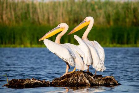 Pelikanen in Donau Delta Roemenië