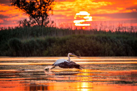 Pelicans flying at sunrise in Danube Delta, Romania Standard-Bild