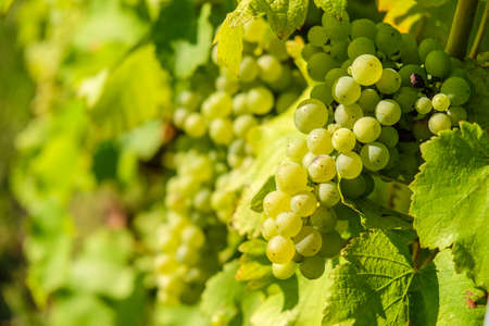 Fresh Riesling white grape bunch hanging from vine in winemaking region 스톡 콘텐츠