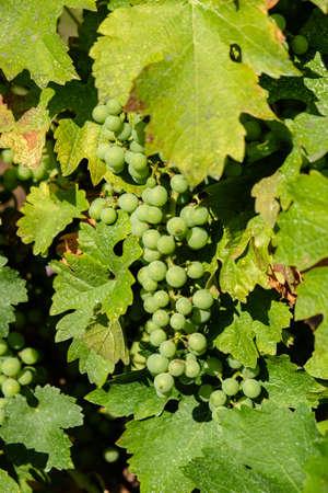 White grape bunch in vine Stock Photo