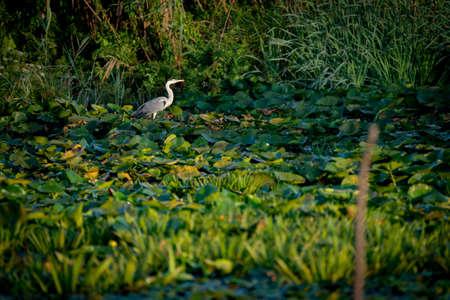 Gray Heron in the Danube Delta Romania