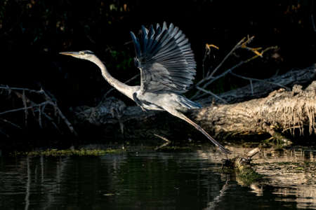 Gray Heron flying in the Danube Delta Romania Stock Photo