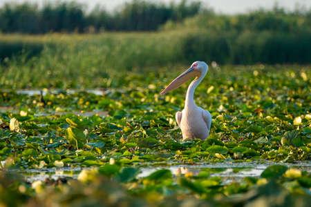Pelican in the Danube Delta (Delta Dunarii) Romania